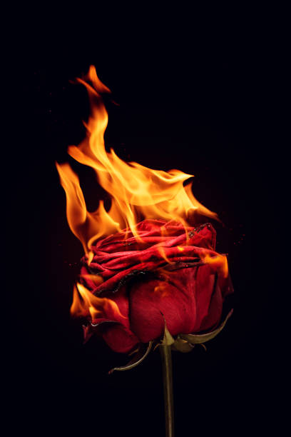 Red rose in fire